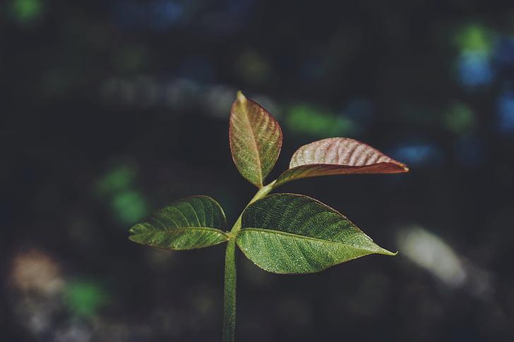 natura, planta, fulles, verd, macro, fulla, creixement
