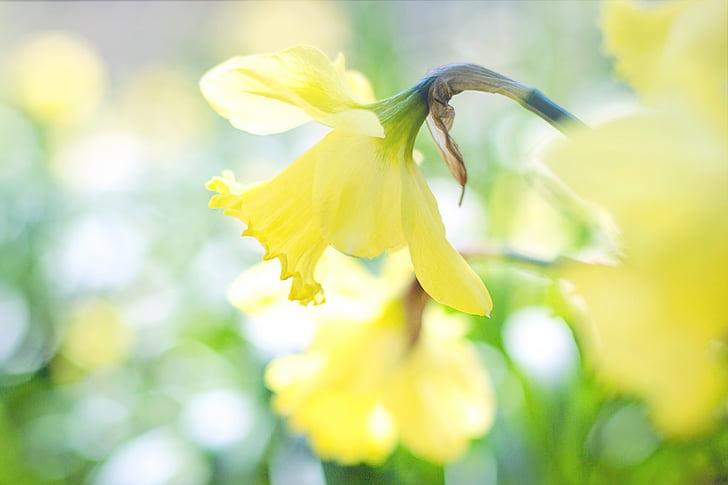 Narcisa, pomlad, cvetovi Rumeni cvetovi, vrt, vrtnarjenje, narave, rumena
