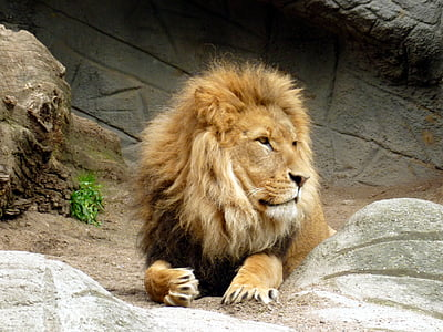 lion, lions male, king of the beasts, lion's mane, mammal, wildcat, animal world