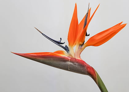 bird of paradise, flower, tropical, plant, natural, bloom, exotic