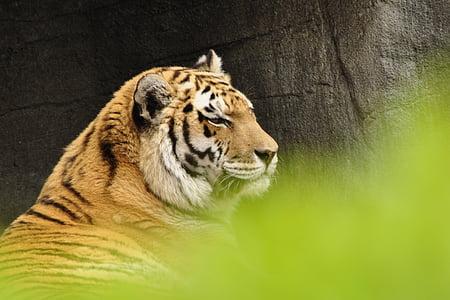 tiger, cat, predator, animals, zoo, animal, wildlife