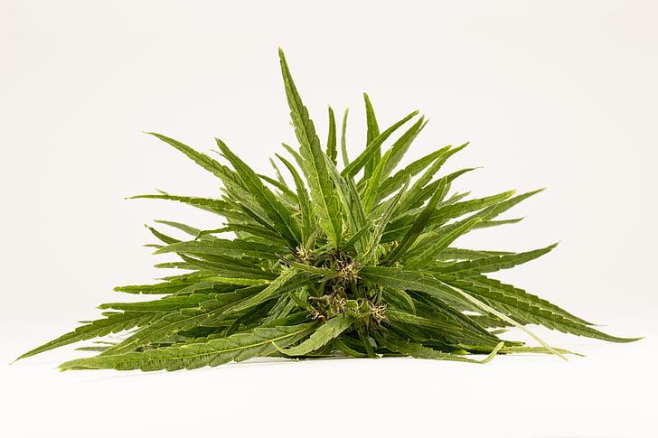 fàrmacs, addicció, cànem, les drogodependències, tractament de Toxicomanies, marihuana, VIH
