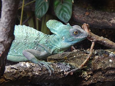 llangardaix, zoològic, profund, animal, colors, rèptil
