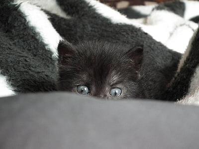 gatito, poco, gato, animales de compañía, animales, ojos de gato, ojo de gato