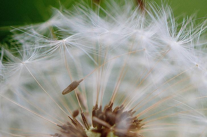 võilill, seemned, lennata, taim, Sulgege, loodus