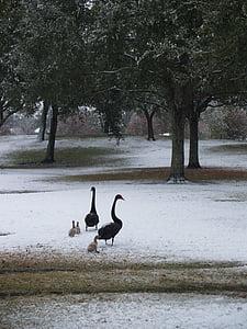 geese, baby geese, baby, duck, baby ducks, ducklings, nature