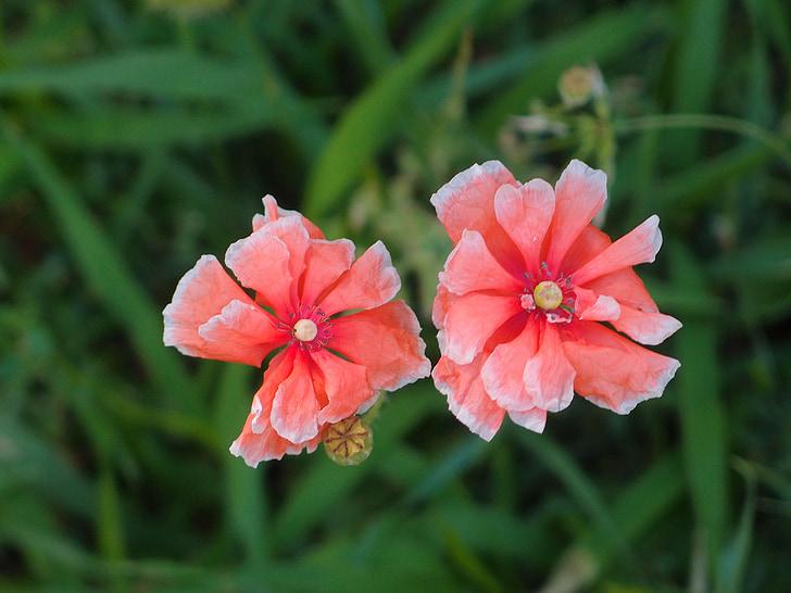 cvijeće, Maki, Crveni cvijet, ljeto cvijeće, cvijet, biljka, Cvjetovi