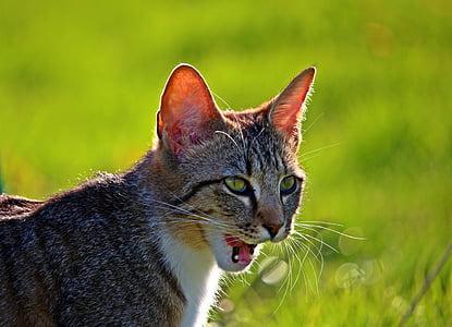 cat, kitten, tiger cat, mackerel, young cat, domestic cat, mieze