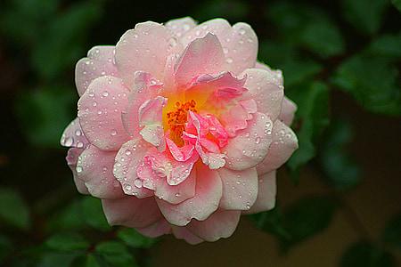 Rožė, rožinė, gėlė, Gamta, Romantika, meilė, Romantiškas