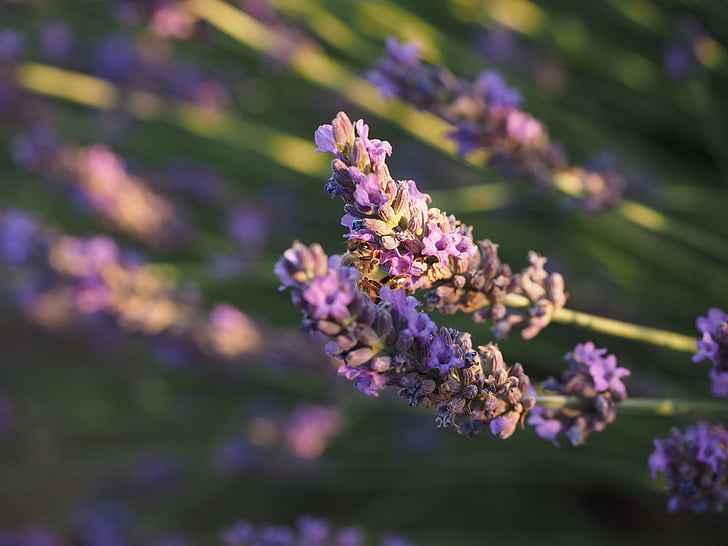 camp de lavanda, lavanda, sol de nit, flors d'espígol, violeta, cultiu d'espígol, planta ornamental