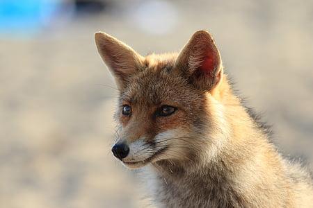 Fuchs, Tier, Toskana, Rotfuchs, Säugetier, Tierwelt, Natur
