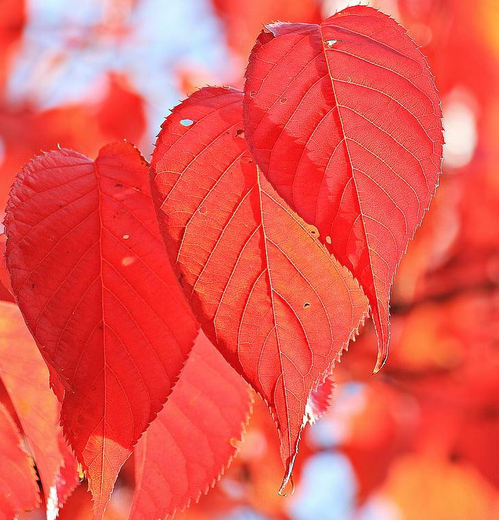 tardor, fulles de tardor, fulles, veritables fulles, color de la tardor, vermell, fulles vermelles