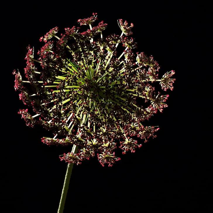 lill, stuudio, valgustus, taim, loodus, mustal taustal, Studio shot
