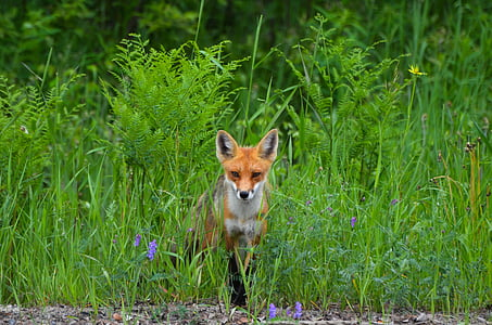 Fuchs, Wild, Natur, Tier, Tierwelt, Pelz, Kreatur