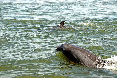 Delfini v naravi, prosto živeče živali, delfinov, narave, morje, vode, življenje