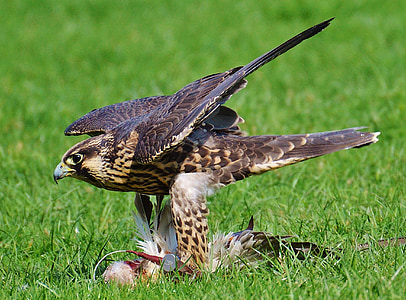 falcon, wildpark poing, prey, access, raptor, wild animal, feather