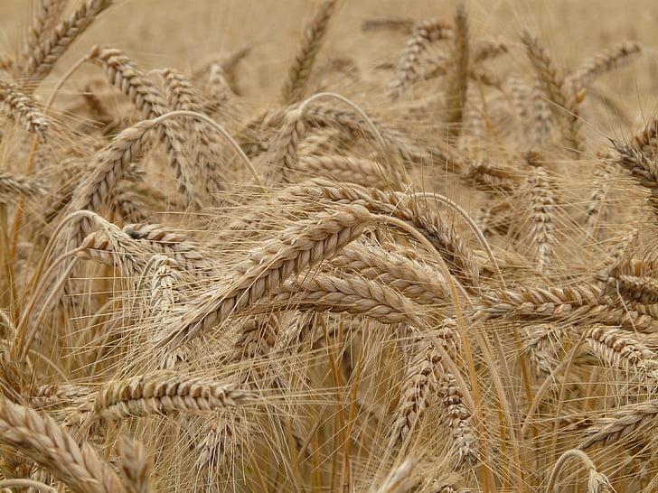 blat, espiga, camp de blat, cereals, espiga de blat, gra, camp