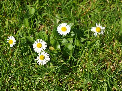 daisy, meadow, garden, flower meadow, wildflowers, white, flowers