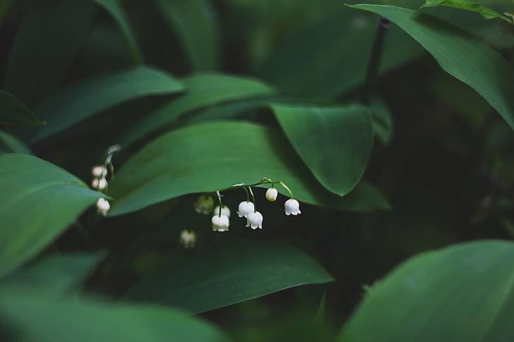 Zelená, Leaf, rastlín, Príroda