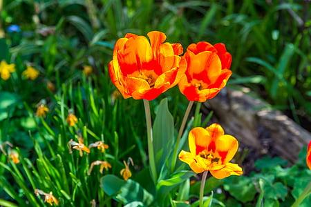 Tulip, lilled, kevadel, Värv, loodus, kollane, punane