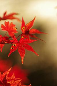 autumnal leaves, maple, autumn, arboretum, maples, red, maple leaf