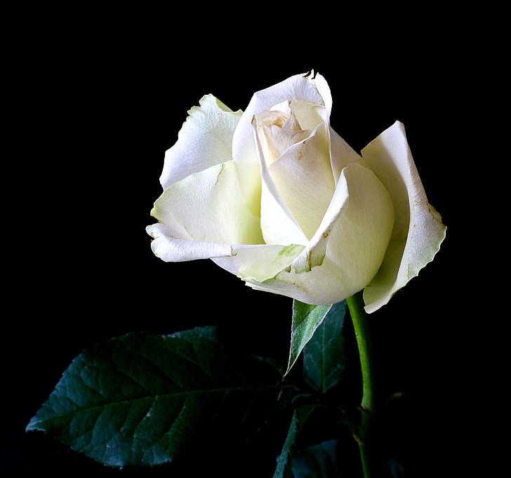 Rosa, planta, tendre, natura, flor rosa, flor, Rosa blanca