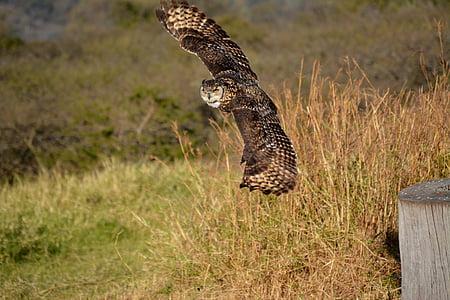 Owl, con chim, bay, Thiên nhiên, động vật hoang dã, động vật ăn thịt, lông vũ