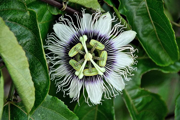 flor, verd, natura, Passiflora, passió, flor de la passió, fruita de la passió