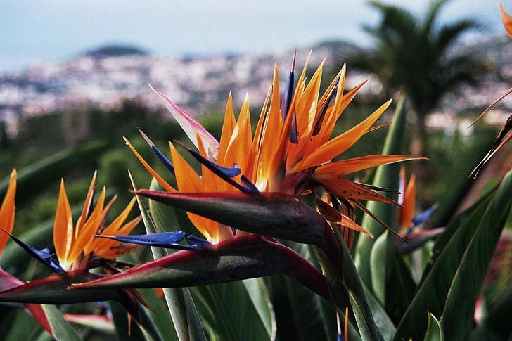 Madeira, botanische tuin, Parrot flower, Portugal, Atlantische, eiland, lente