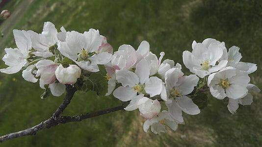 pomera, blanc, flor blanca