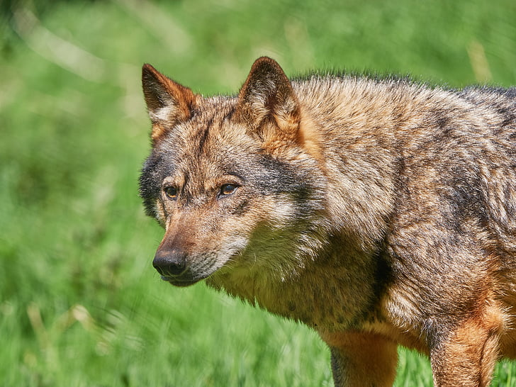 wolf, scheu, nature, forest, animal, pack animal, carnivores