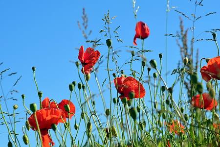 poppy, klatschmohn, poppy flower, red, field of poppies, poppy capsule, blossom