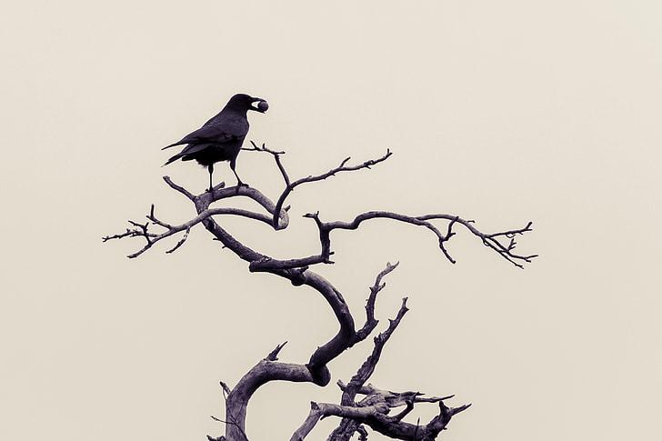 varjú, madarak, téli, fekete, Holló madár, Kiss, varjúfélék