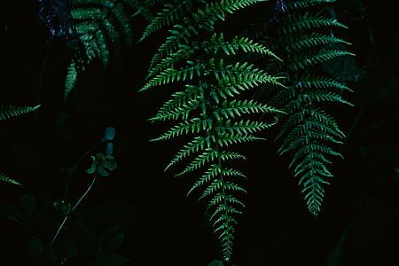 kapradina, listy, Příroda, závod, zelená barva, borovice, list