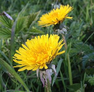 Regrat, Plevel, naravne, cvetje, rumena, poletje, cesti