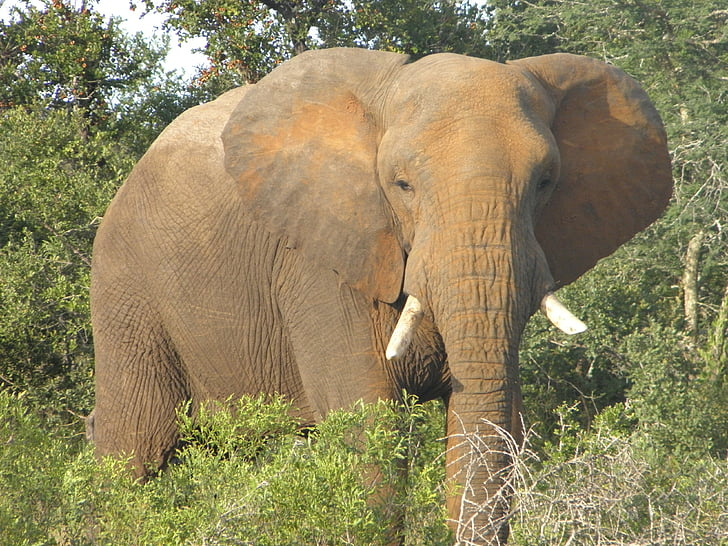 elephant, africa, wildlife, african, animal, safari, south africa