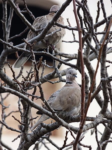 turtledove, bird, couple, branches