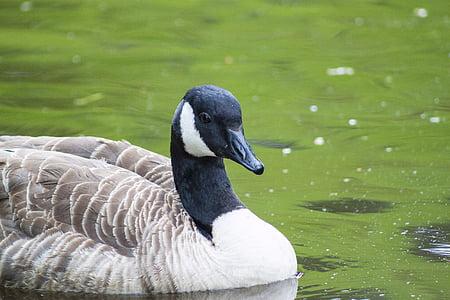 鳥, ガチョウ, 自然, 野生動物, 家禽, 春, 水鳥