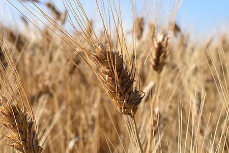 wheat, durum wheat, wheat field, summer, light, sun, ear