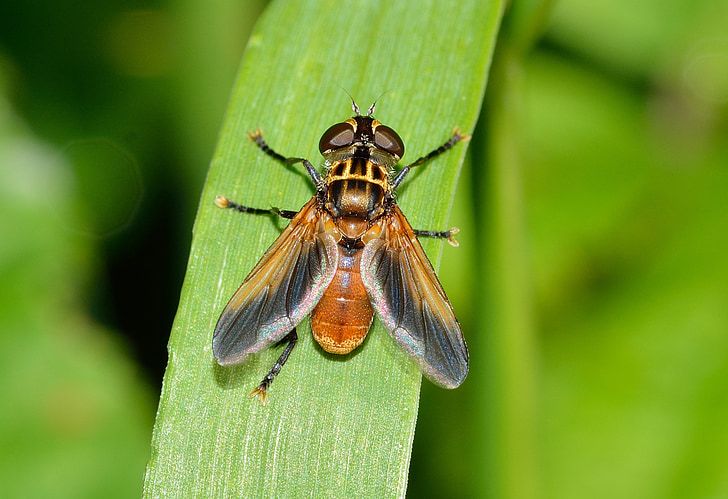 insectes, dípters, ectophasia, volar