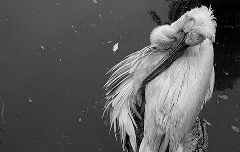 ocell, Singapur, blanc i negre, negre, blanc, -negre, animal