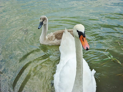 swan, baby, water, family, animals, nature, pond