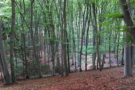 δάσος φυλλοβόλων, δάσος, δέντρα, φύση, τοπίο, φύλλα, φυλή
