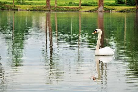 swan, pond, nature, white, animals, bird, water