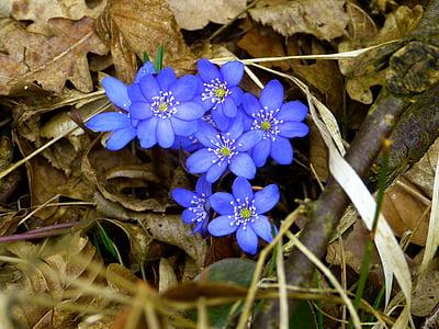 jetrnik, cvet, cvet, Hepatica nobilis, zlatičevke, Ranunculaceae., cvet, vetrnica