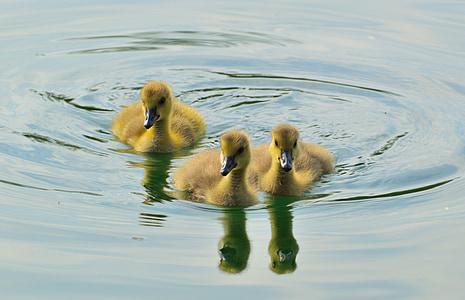 Kanadanhanhi, Poikaset, eläinten, nuori, kevään, parvi, Wildlife