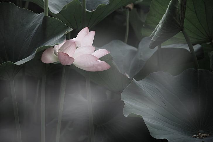 Hoa sen, Đẹp, giật gân, mùa hè, nền tảng, Ao, Thiên nhiên