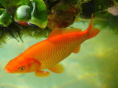 Zlatna ribica, riba, plivati, mokro, slatkovodne ribe, vode, pod vodom