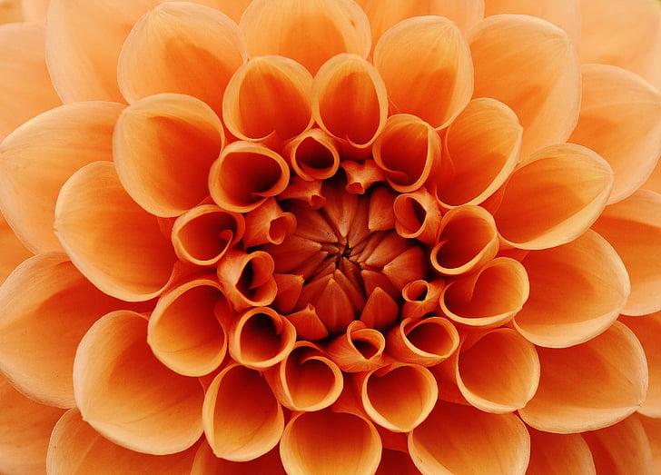 Dahlia, dahlias, automne, Asteraceae, jardin fleuri, fleurs ornementales, jardin de Dahlia
