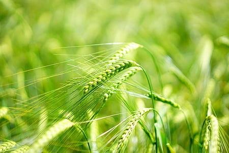barley, young crop, green, barley field, cereals, grain, cereal